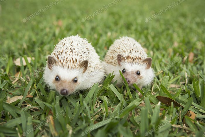 Two hedgehogs on the grass.