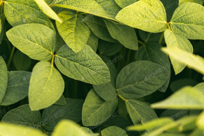 Green leaves of soybean plant, agricultural landscape