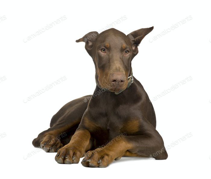 Dobermann Pinscher (4 Monate)