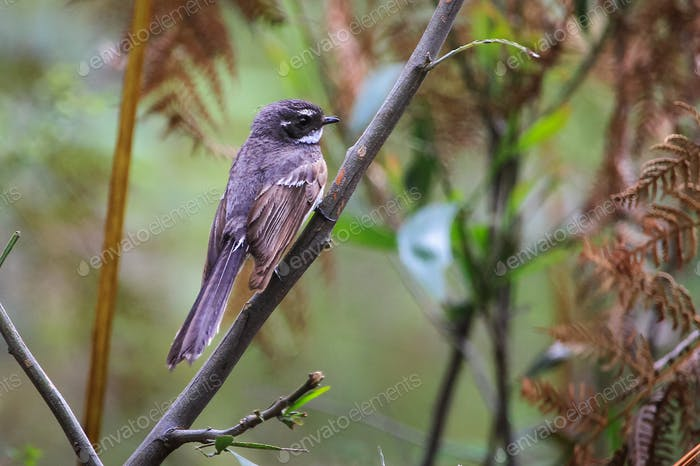 Grey Fantail Bird Perched in Australia