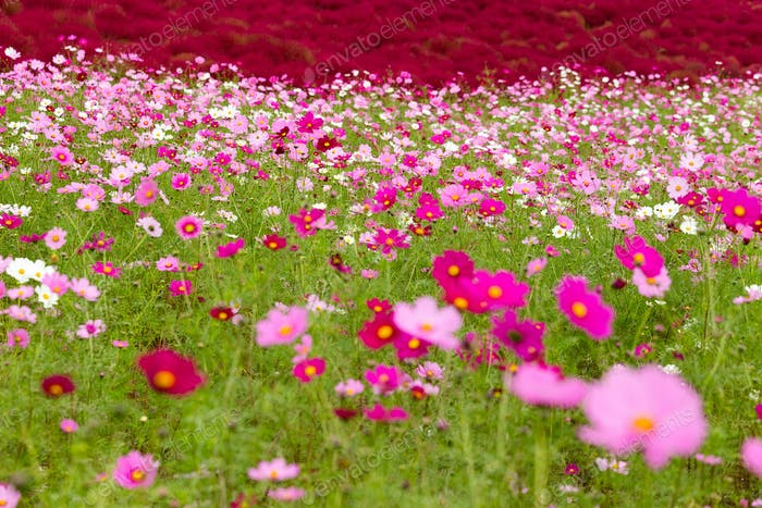 Cosmos flowers and Kochia flowers