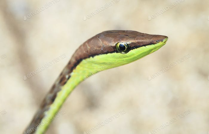 Brown Vine Snake Up Close in Costa Rica