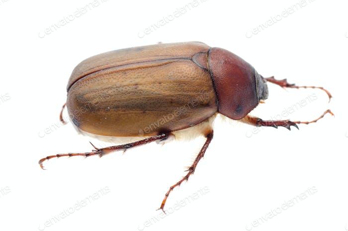 brauner Juni Käfer