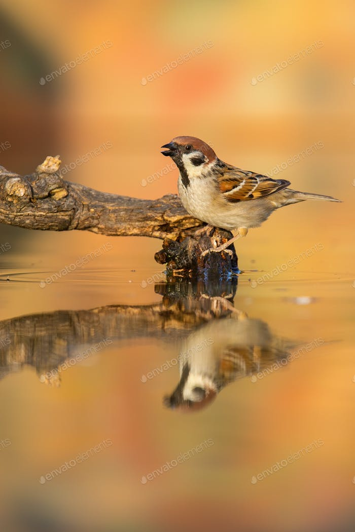 Eurasian tree sparrow sitting on branch in pond in autumn