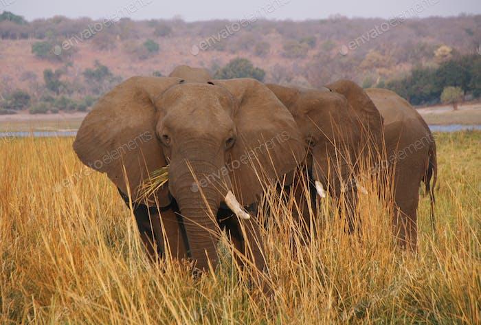 Elephant eating grass in Chobe riverfron