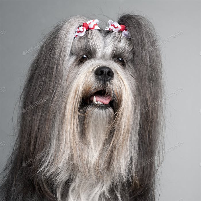 Lhasa Apso (2 years old)