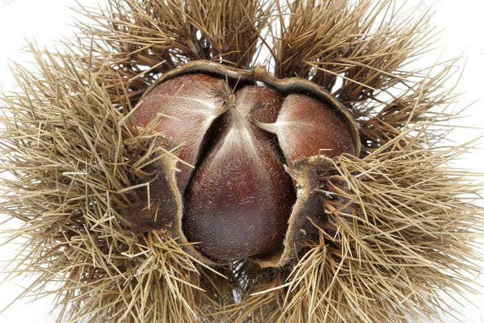 Sweet chestnut in spiked pod