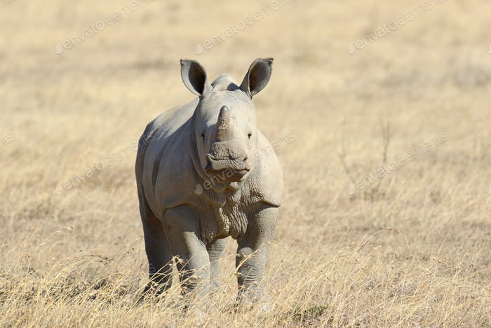 African white rhino