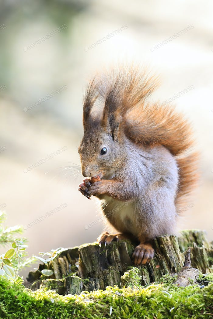 Red squirrel eating nut on wood in springtime nature