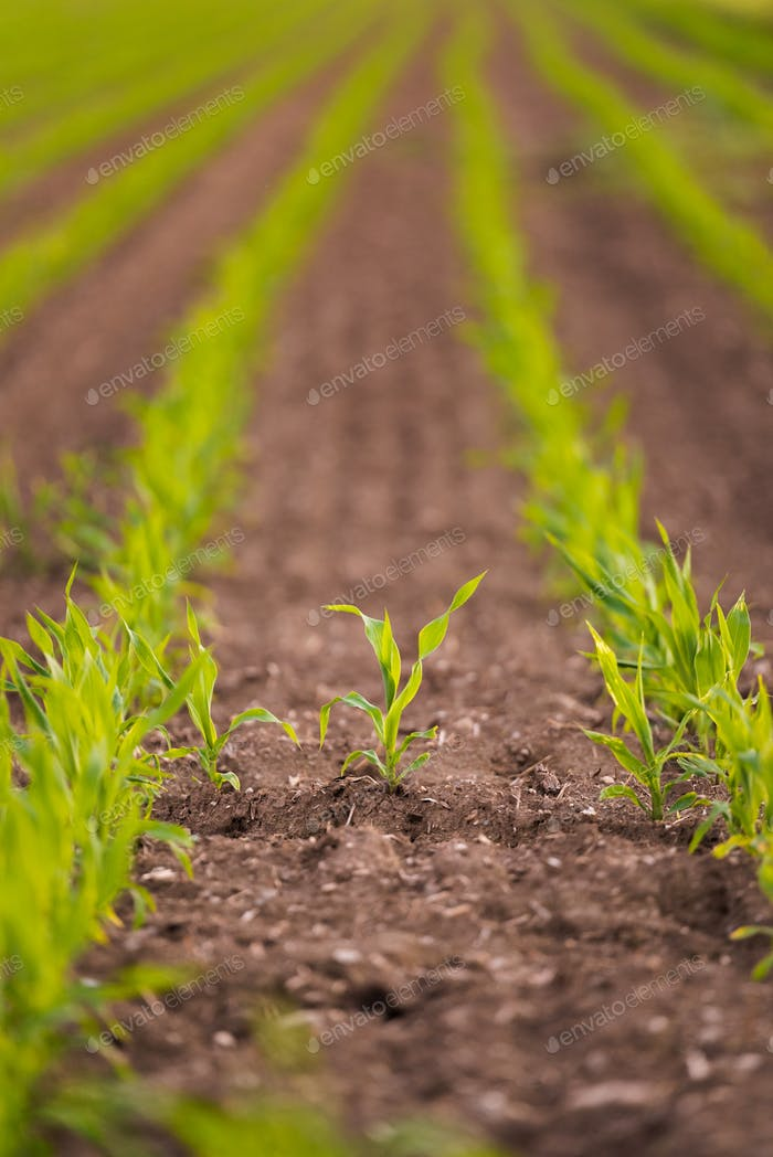 Growing young maize seedling in cultivated agricultural farm field