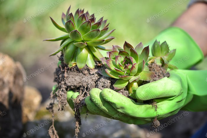 Gardener planting sempervivum plant in the garden. Spring garden works concept