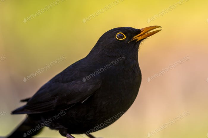 Portrait of male Blackbird vivid background
