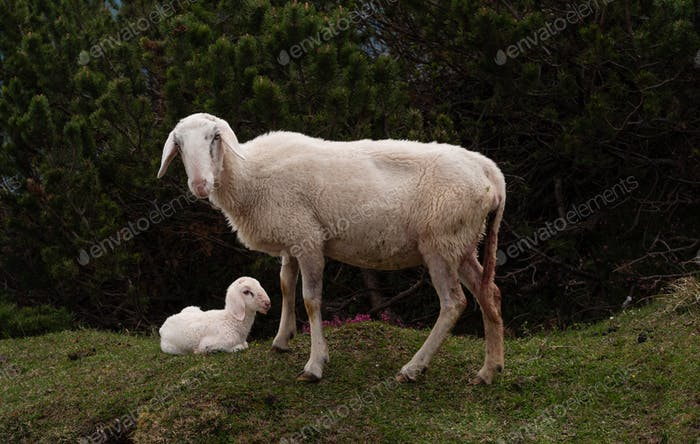 Sheep and her young cub in the hills