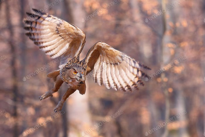 Eurasian eagle-owl flying forward with wings open in autumnal nature