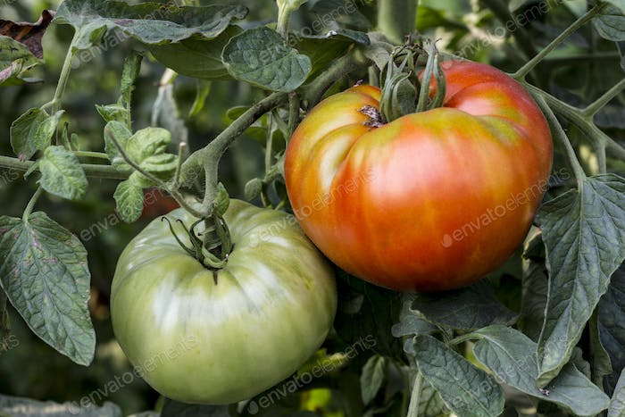 Red And Green Tomato