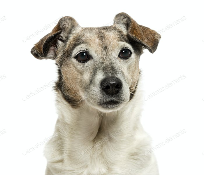 Close-up of an old Jack Russell Terrier, 13 years old, isolated on white