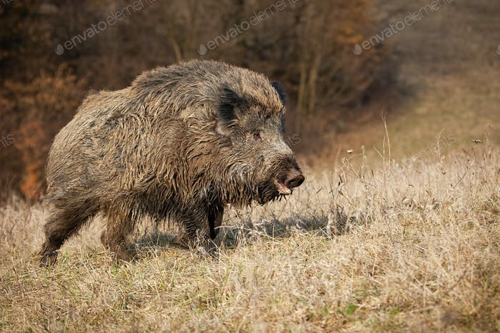 Hairy wild boar, sus scrofa, going on meadow in nature