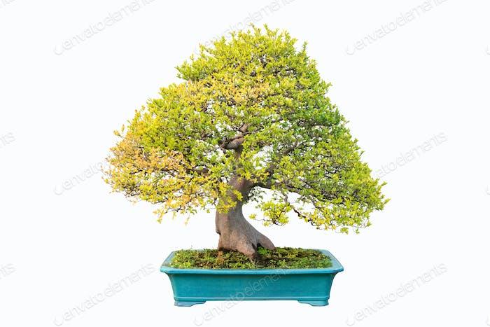 Ulme Bonsai im Herbst