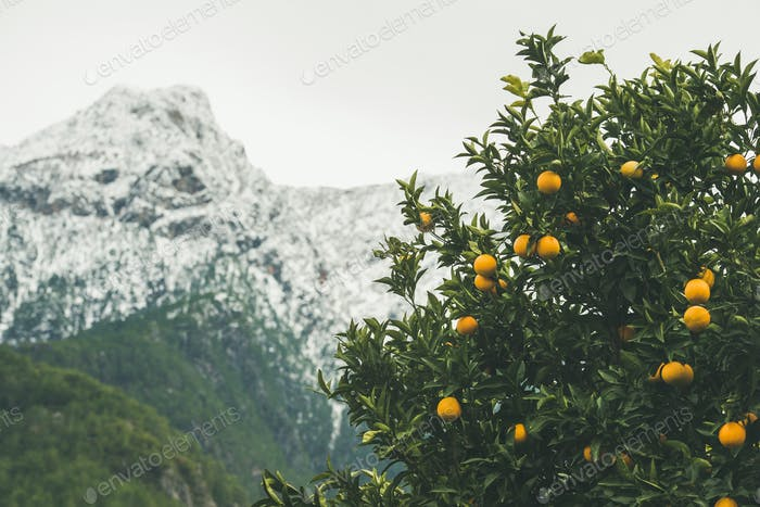 Orange trees with ripe oranges in mountain garden, Alanya, Turkey