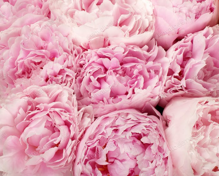Pink peonies photo by michalex on envato elements pink peonies mightylinksfo Gallery