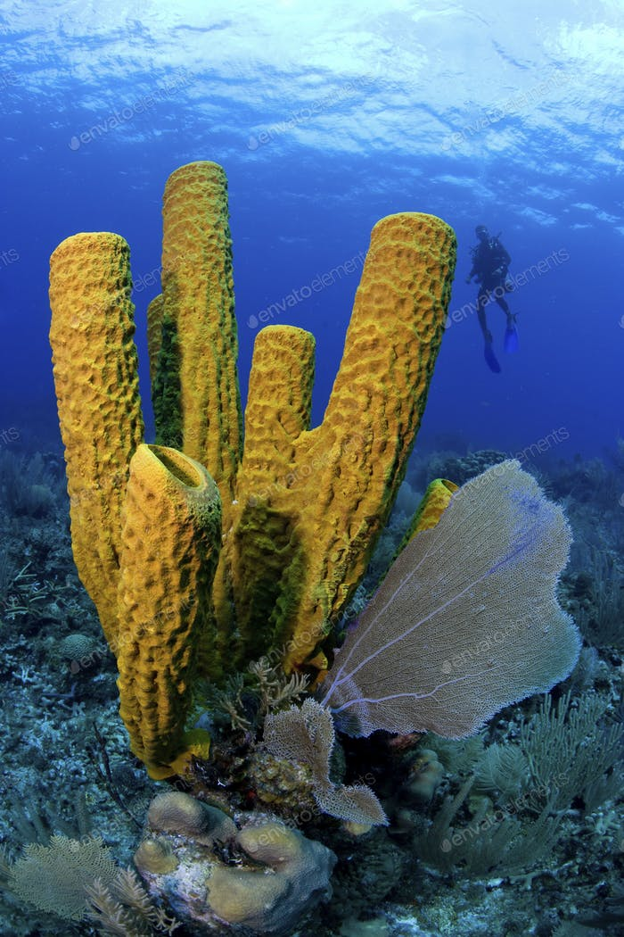 Diver is highlighted behind a grouping of tube sponges.