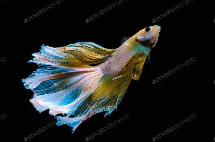 Betta Siamese aquarium fighting fish In the rainbow colors