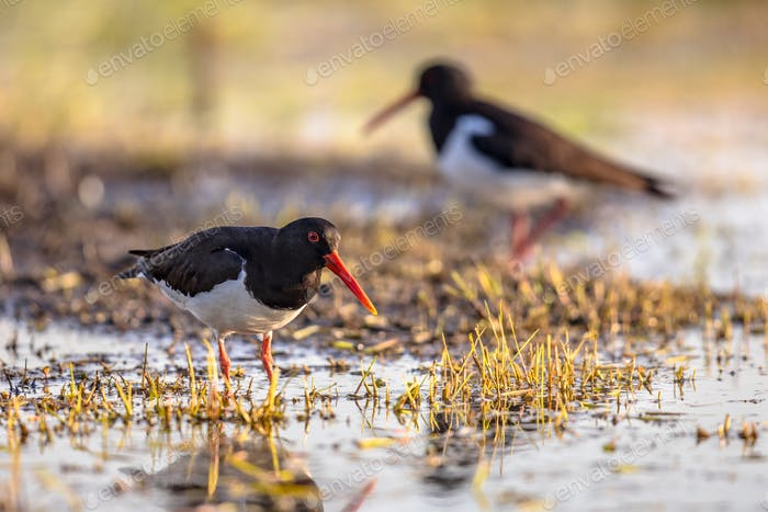 Pied Oystercatcher couple on river bank