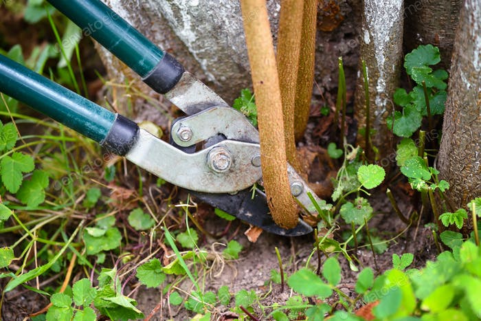 Pruning trees with garden pruners in the autumn garden