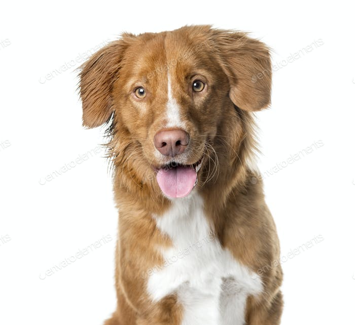 Close-up of a Nova Scotia Duck Tolling Retriever panting , isolated on white
