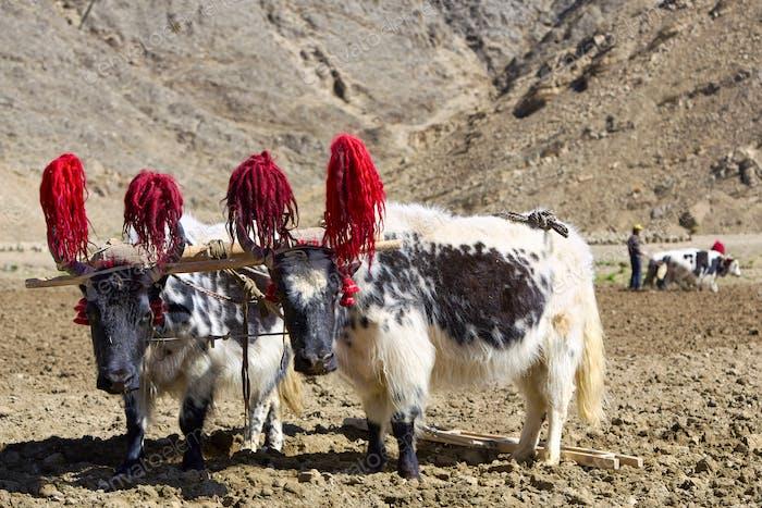 Tibetische Yaks
