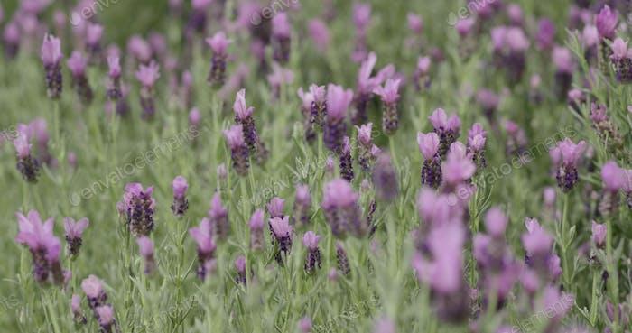 Purple Lavender farm