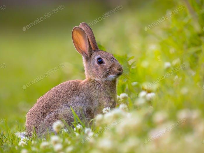 beobachten wilde europäische Kaninchen