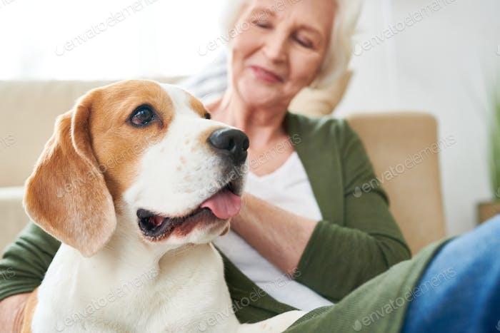 Beagle Dog with Senior Owner