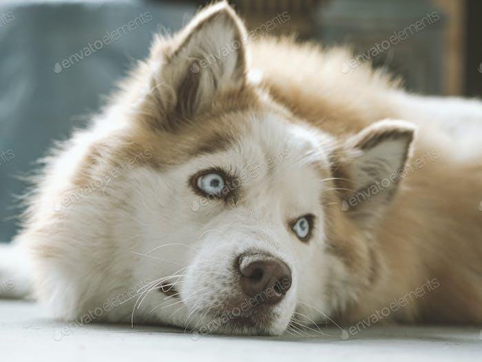 Siberian Husky with beautiful blue eyes.