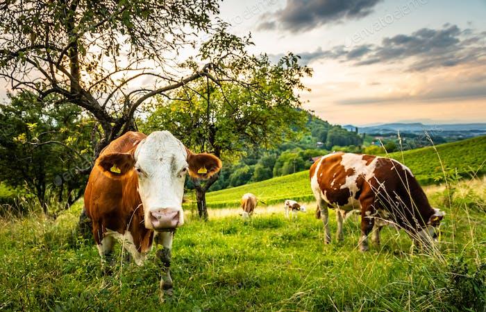 Kühe grasen auf einer schönen grünen Weide in Weingärten