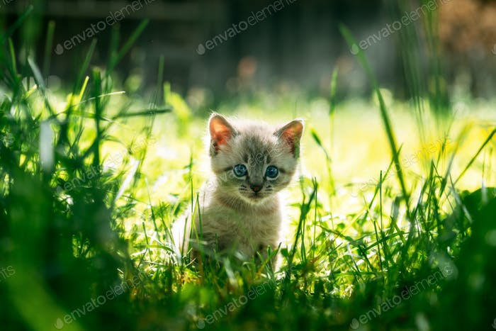 Small kitten with blue ayes in green grass