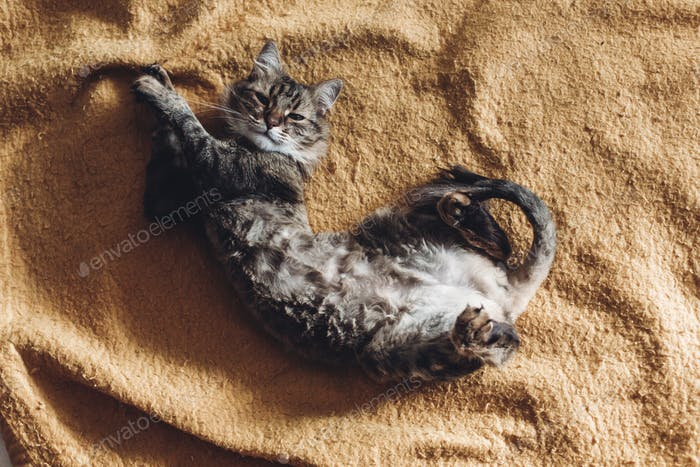 beautiful cat lying on stylish yellow blanket and looking up with adorable emotions