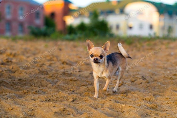 Chihuahua Hundewanderungen