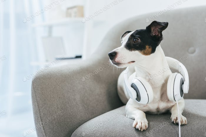 Jack russell terrier dog with headphones at home