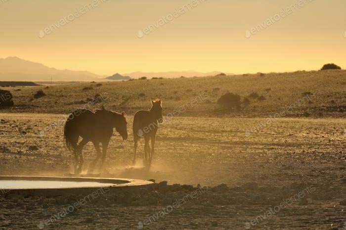 Wild horses of the Namib at sunset