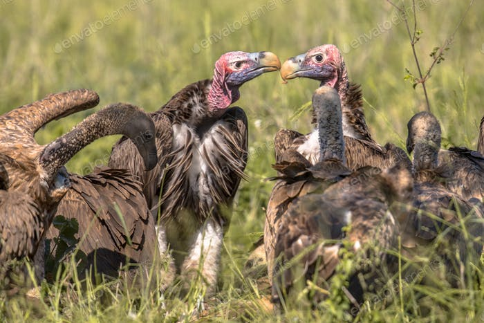 African vultures safari