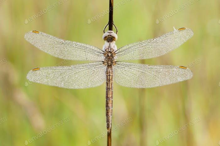 Dragonfly covered with dew drops