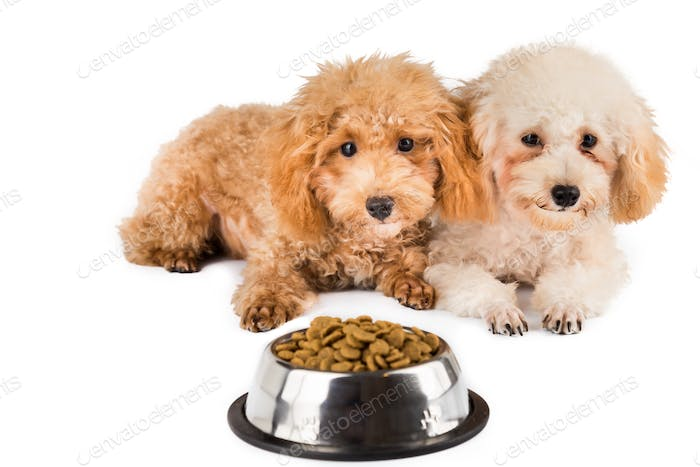 Two poodles puppies with a bowl filled with kibbles