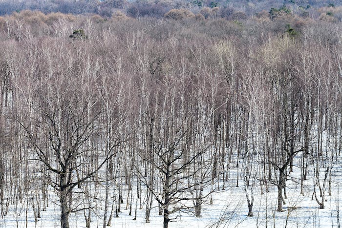 oak and birch trees between melting snow in forest