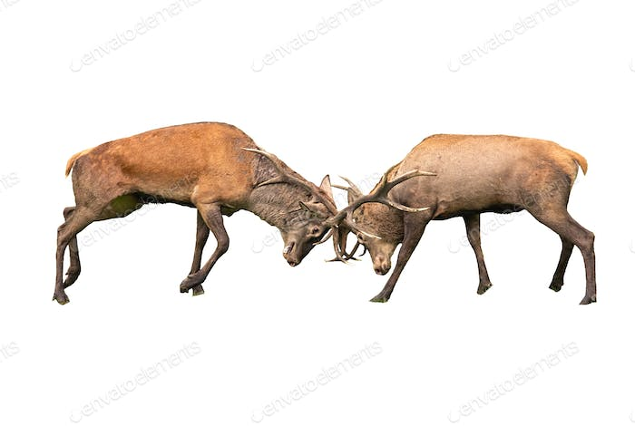 Red deer, cervus elaphus, fight during the rut isoalted on white background