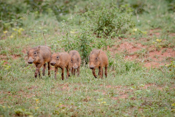 Warthog baby piglets running in the grass.