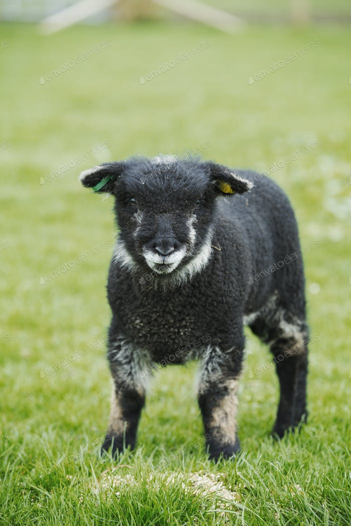 A young animal, a black lamb standing in a field.