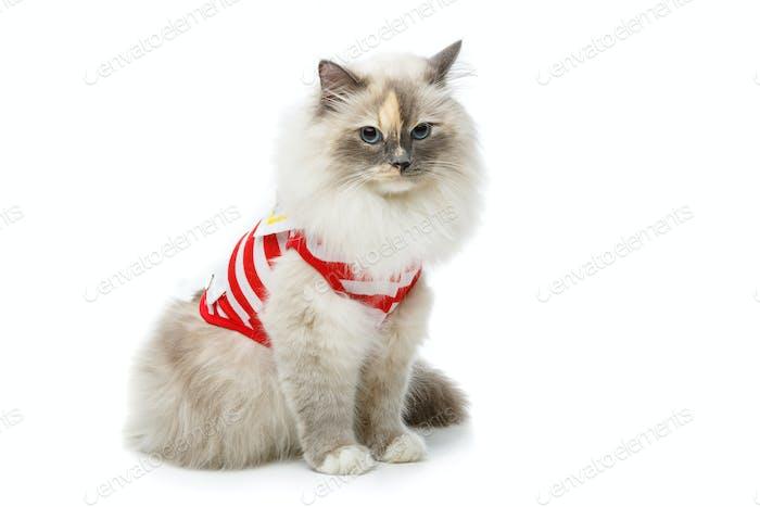 beautiful birma cat in red pullover