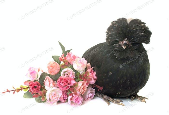 black Padovana chicken