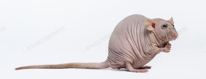 Hairless Rat (2 years old)